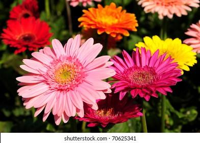 GERBERAS in garden  Compositae flower