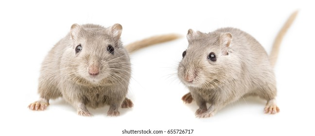gerbils isolated on white background