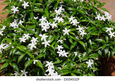 Gerdenia Crape Jasmine plant. - white flowers(NANTHAYARVATTAM)The flowers are used for preparing medicines for eye diseases and irritations. Moreover these are also used for 'poojas' and in temples.