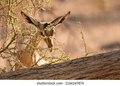 Gerenuk (Litocranius walleri) - Can  you see me