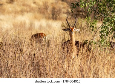 Gerenuk, Litocranius walleri, face and  lyre shaped horns of male, head above high yellow grass in Samburu National Reserve, Kenya, Africa. Wildlife hiding in dense African bush