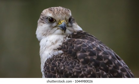 Gerfalcon bird close-up