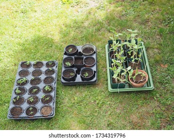 Germ buds plants for spring gardening prepared and waiting to  be burried