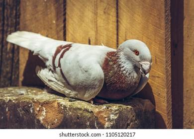 German beauty homer male pigeon on a wooden roost inside a loft.