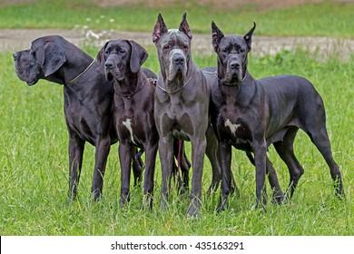 German black boarhound dog