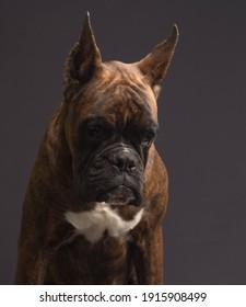 German boxer dog brindle color