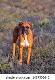 German Boxer Male Dog standing in meadow, watching, beautiful evening sunlight