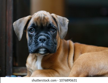 german boxer puppy dog