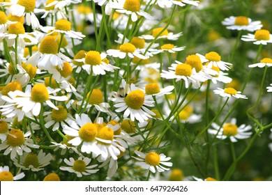 German chamomile herb garden