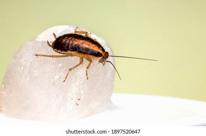 The german cockroach (Blatella germanica)
