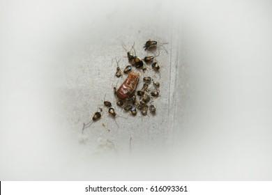 German Cockroach Egg Case