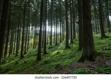 german coniferous forest