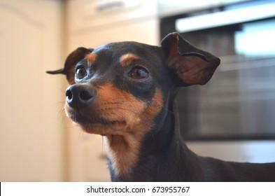German dog breed - Miniature pinscher dog
