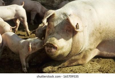 German Hall Swine, Black Pied