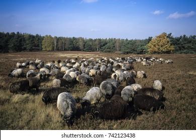 German heath, Lueneburg Heath, Lower Saxony, Germany, Europe