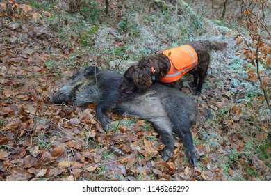 German Hound (Deutscher Wachtelhund) with Wild boar, Germany, Europe