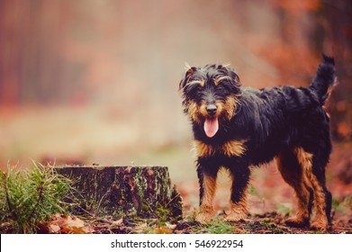 German hunting terrier in the fall forest