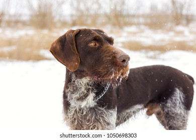German hunting watchdog drahthaar, Beautiful dog portrait in winter