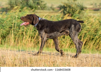 German hunting watchdog drathaar, beautiful dog portrait in summer