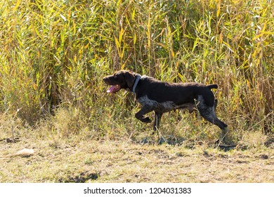 German hunting watchdog drathaar, beautiful dog portrait in autumn