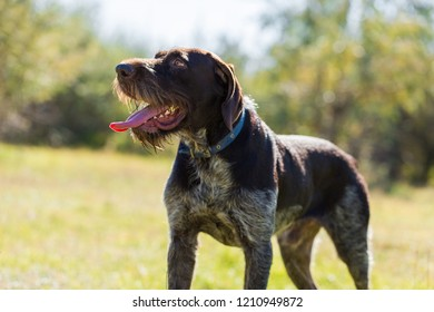 German hunting watchdog drathaar, Beautiful dog portrait on the hunt