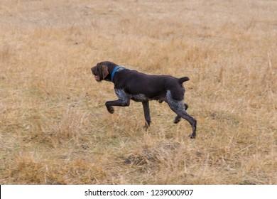 German hunting watchdog drathaar, beautiful dog portrait in autumn