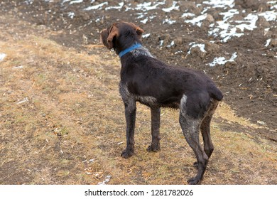 German hunting watchdog drathaar, beautiful dog portrait