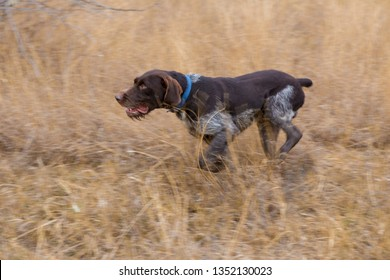 German hunting watchdog drathaar, Beautiful dog portrait on the hunt