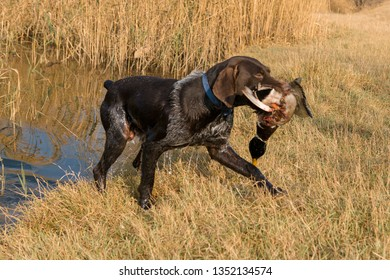 German hunting watchdog drathaar, Beautiful dog portrait on the hunt. A hunting dog pulls out prey from the water.
