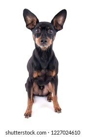 German Pinscher dog breed  isolated over white background