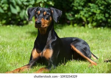 German pinscher dog in nature background