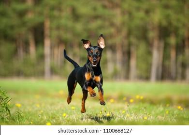 German pinscher dog running in a summer meadow