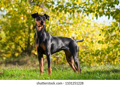 German pinscher dog in a summer meadow
