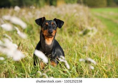 German pinscher dog in a summer meadow