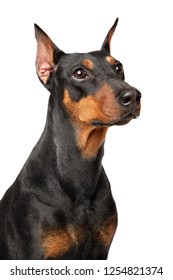 German Pinscher faithfully watching. Portrait isolated on white background