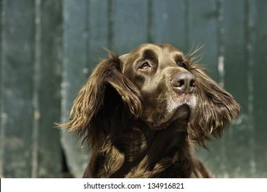 German pointer dog on farm in front of green wooden door.