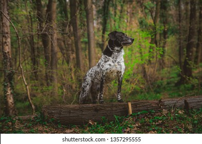 German pointer dog posing in the forest
