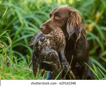 German pointer with duck