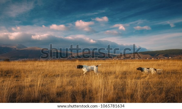 German pointer and English setter in hunting together
