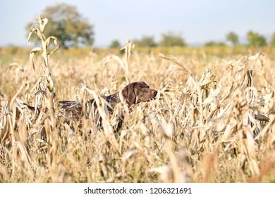 German pointer feel the pheasant