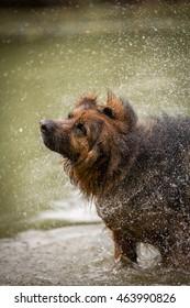 German sheep dog shaking off water