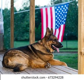 German Shepard with American Flag