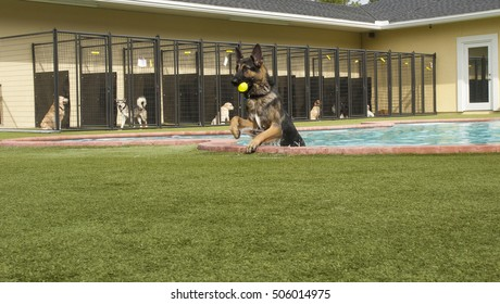 German shepard coming out of pool at doggie daycare with other dogs