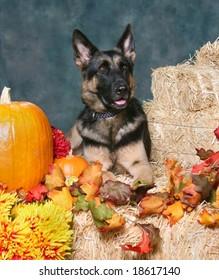 German Shepard Dog in Autumn Setting