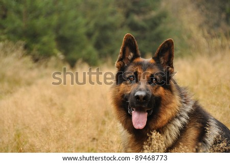 German shepard lying in yellow grass with coniferous wood in background