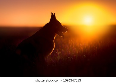 German shephard dog portrait silhouette at sunset
