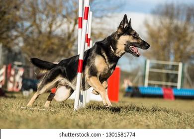 german shepherd agility