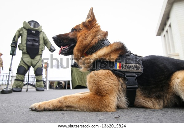 German Shepherd Army Dog Trained Detect Stock Photo Edit Now
