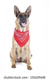 German shepherd with a bandanna in the studio