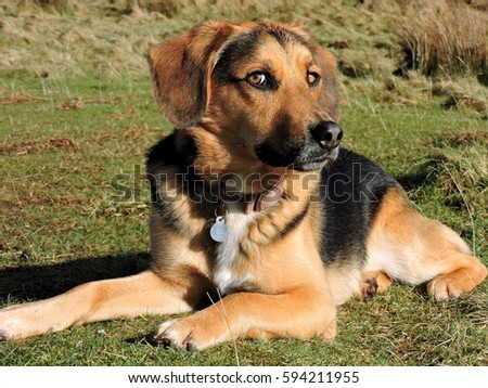 beagle german shepherd mix